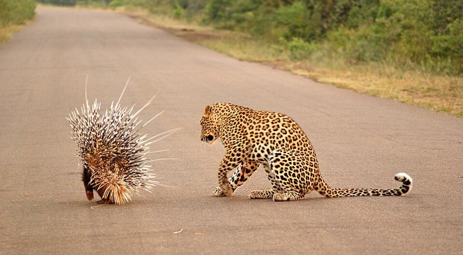 猎豹欲捕豪猪当午餐 反被刺伤