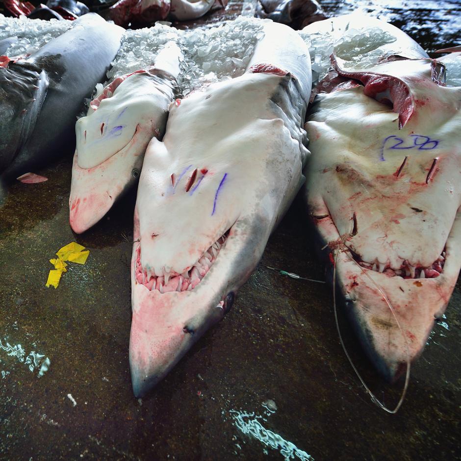 """鲨鱼 鱼翅图片_实拍太平洋的""""鱼翅产业链""""-新闻图片库-大视野-搜狐"""