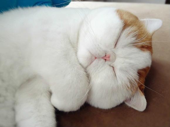 看到它你是啥感觉呢?这无辜的小眼神这团团的小包子脸儿有没有触碰你内心最柔软的地方?是不是看到它你的嘴角不自觉的就咧开了?据说这可是世界上最可爱的猫之一呢,名叫史努比猫(大肥猫宝儿),一个异国短毛猫品种,丰腴的身材呆萌的大眼睛,怎么会那么萌,猫的主人该有多幸福呀!