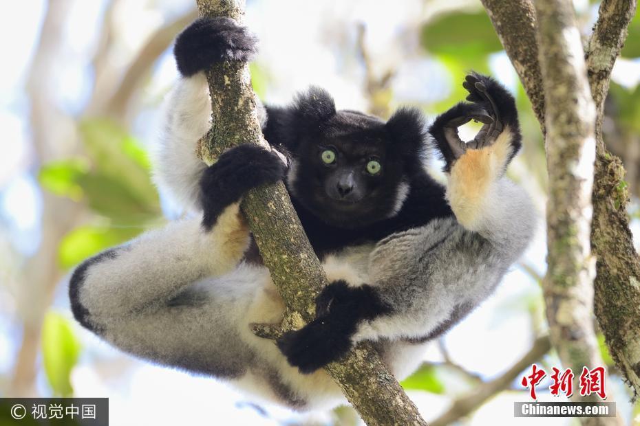 """保护区,一只友好的大狐猴,比着""""ok""""的手势,这幅作品名字叫《我很好》."""