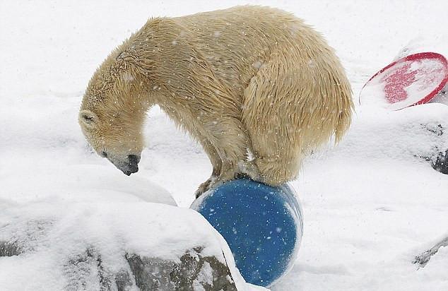 美可爱北极熊宝宝踩水桶秀平衡力