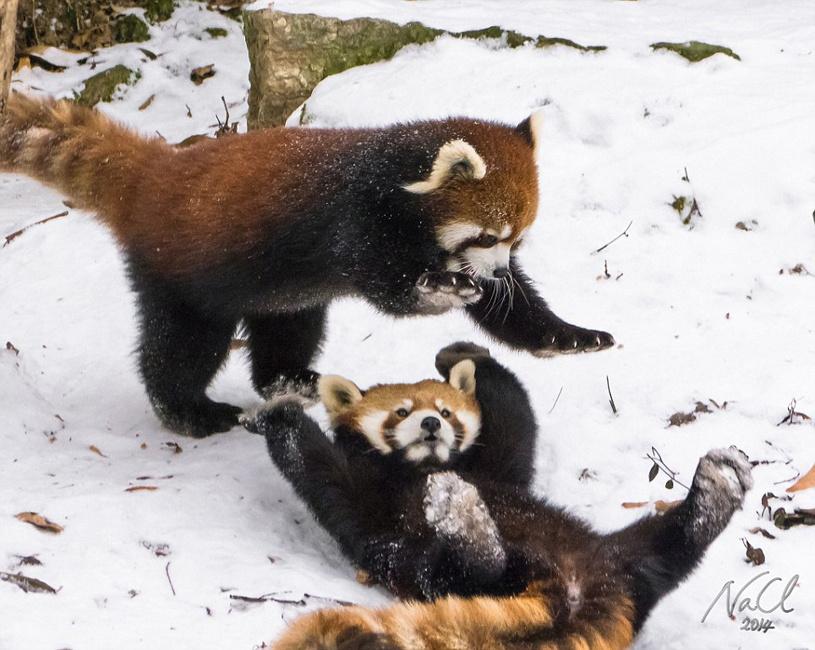 在美国俄亥俄州辛辛那提动物园(Cincinnati Zoo),两只小熊猫在雪中嬉戏打闹的场景被摄影师记录下来。它们滑稽可爱的动作,吸引了不少游客的目光。   虽然小熊猫一直被认为拥有离群索居的孤独天性,但是事实证明它们也是喜欢和伙伴们玩耍的。有意思的是,面对小伙伴,为了让自己显得更高大威武,图中一只小熊猫甚至能够坚持后脚站立长达10秒钟之久。它们在雪中打滑翻滚,相互扑打,毫不示弱,让观众大开眼界。   一般来说,小熊猫习惯独居,除了寻找伴侣交配外,很少成对出现或过群居生活。它们用锐利的爪子进行自我保护,用