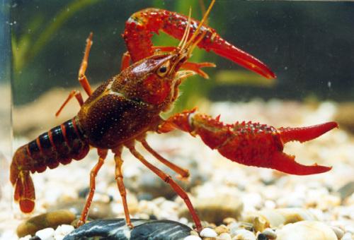 2014世界杯 花絮图片 其他花絮  今年夜宵摊上的小龙虾作为预测神兽也