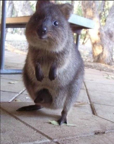 传说中的矮短萌 超级可爱的澳洲短尾矮袋鼠