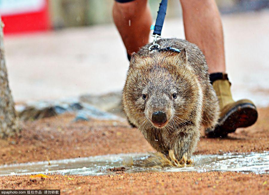小袋熊tonka正依靠套绳学习走路,tonka既认真又摇摇摆摆的样子十分
