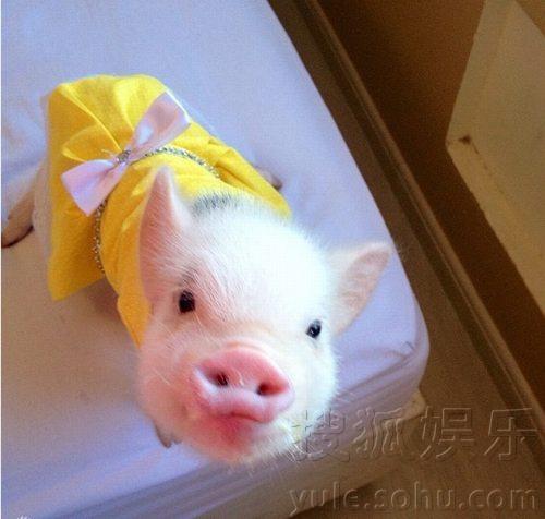 超萌小猪走红网络 百变造型进军时尚界