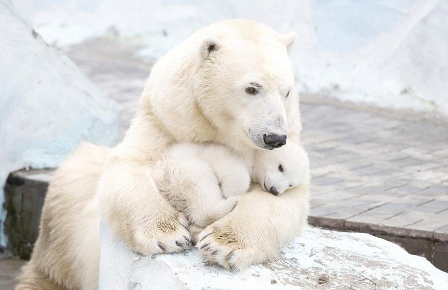 4月21日报道,近日,在俄罗斯的新西伯利亚动物园里,29岁的摄影师维拉(Vera Salnitskaya)抓拍到了一组非常暖心的画面。从图片中能够看到,北极熊妈妈流露出对宝宝难以抑制的喜爱和无微不至的关怀。   北极熊妈妈看上去非常骄傲似的将自己的宝宝炫耀给过往的游客。北极熊宝宝依偎在母亲的怀里,过了一会儿,它就进入了梦乡。这画面拨动了众人的心弦,再次唤醒了人们对母爱的敬畏之情。小北极熊在2013年12月份出生在新西伯利亚动物园里,有关部门正在公开收集大家的意见来为它取名。   摄影师维拉(Vera Sa
