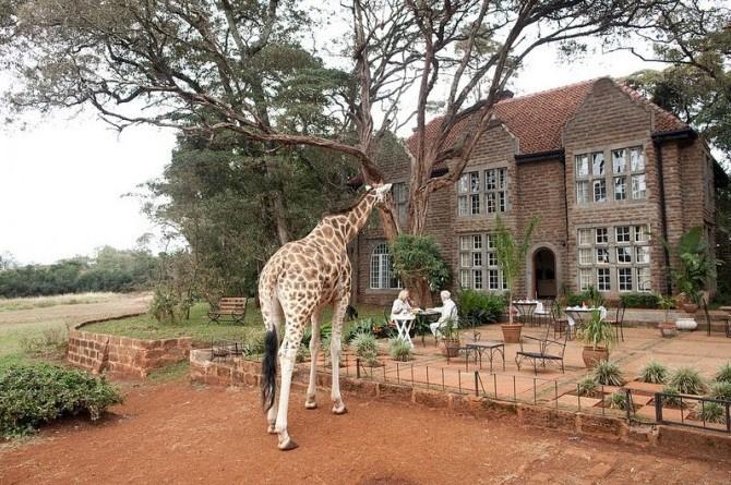 在这个庄园里,有7只长颈鹿,他们和这个庄园中的鸟儿等其他动物相处的很融洽,更会在你吃早餐的时候,将长脖子伸到窗内与你共享。这个庄园其实是一家酒店,是肯尼亚最有名的建筑之一,位于肯尼亚内罗毕市郊。庄园内共有6间房间,房间最大的特色就是有很多个很大的窗户,这就是为了方面萌鹿宝宝将脑袋伸到房间里呢!这样特色的住宿条件自然也要价不菲,每晚高达25000左右的房费,更要和众多国内外游客排队才可以得此一间。