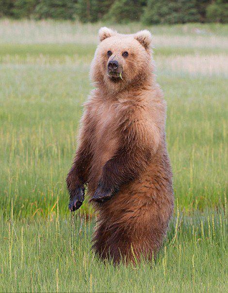 萌翻!阿拉斯加熊妈妈教小熊仔站立