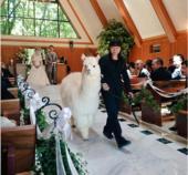 日本一酒店推出用羊驼为新人证婚服务