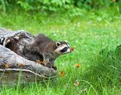 据英国《每日邮报》4月27日报道,近日,一名Imgur用户在网上分享了一系列动物嗅花的可爱组图后迅速...