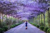 近日,杭州紫藤路上紫藤花绚丽绽放,花团锦簇,如梦似幻,不少市民游客纷纷到此观赏体验。