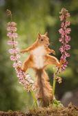 瑞典一名男子日前在自家花园里拍摄到有趣的一幕,一只松鼠为了觅食竟然劈叉站在两枝花茎上,看呆网友。