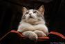 动物肖像系列:喵星人观察日记(图)