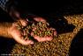 """""""原始人饮食法""""催热西班牙油莎豆种植业"""