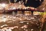 夜间赏樱 日本弘前城堡公园樱花盛放
