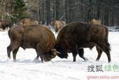 在比亚沃维耶扎山脉目前生活着大概800只珍稀的欧洲野牛,它们属于北美野牛的远亲。